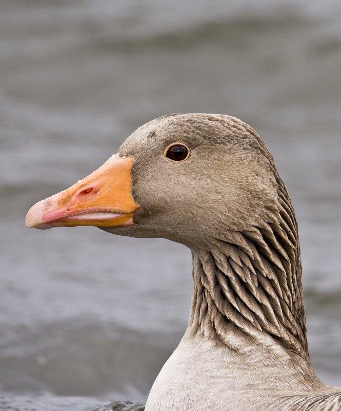 Greylag Goose portrait (Anser anser)