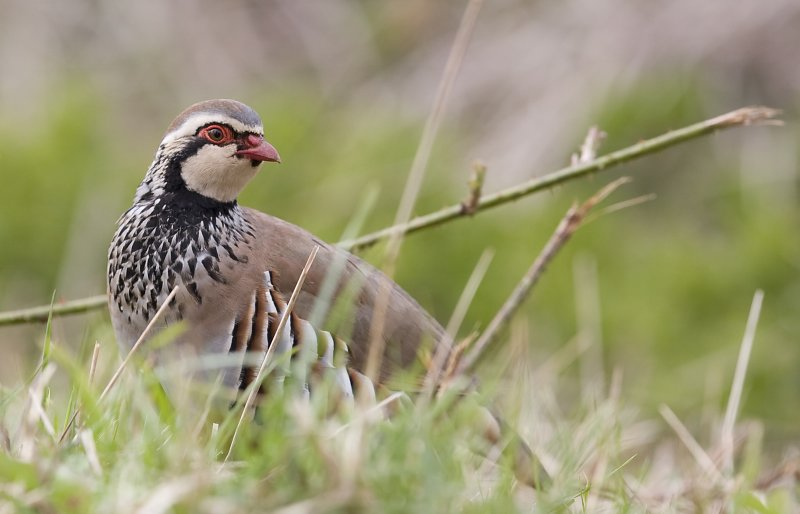 Red Legged Partridge (Alectorus rufa)