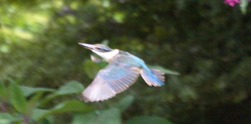 Kingfisher in flight IMG_5688