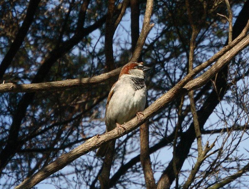 Sparrow IMG_5424r