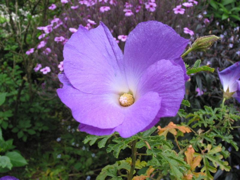 Hibiscus  04-42
