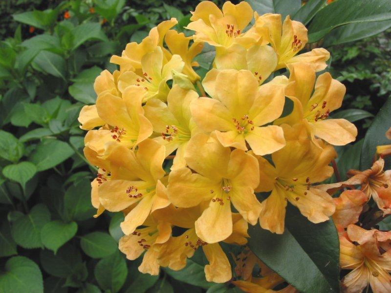 Rhododendrum  04-75.jpg