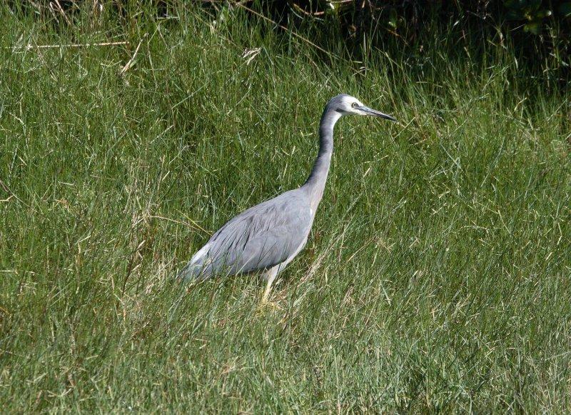 White-faced Heron Kakamatua Stream 8720