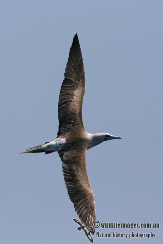 Red-footed Booby 5962.jpg