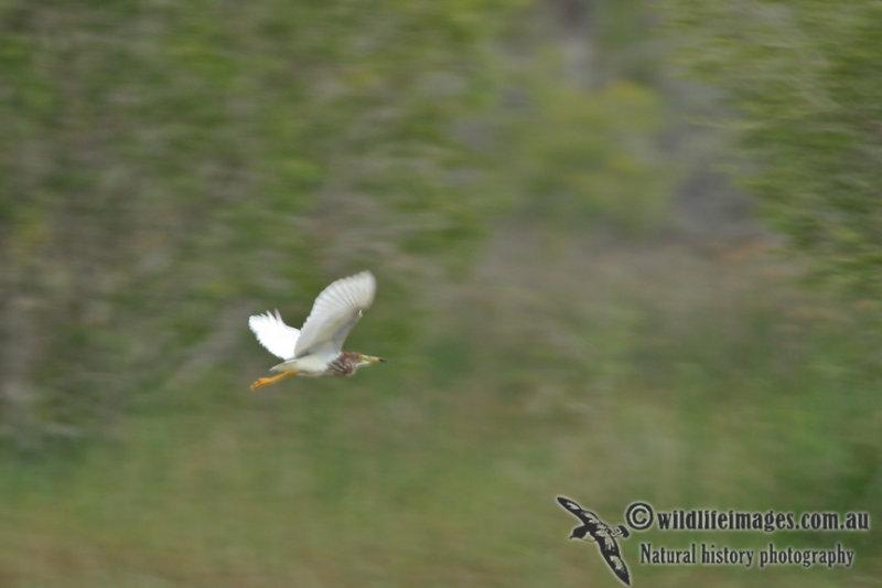 Chinese Pond Heron a4264.jpg