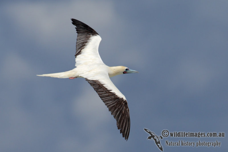 Red-footed Booby 5838.jpg
