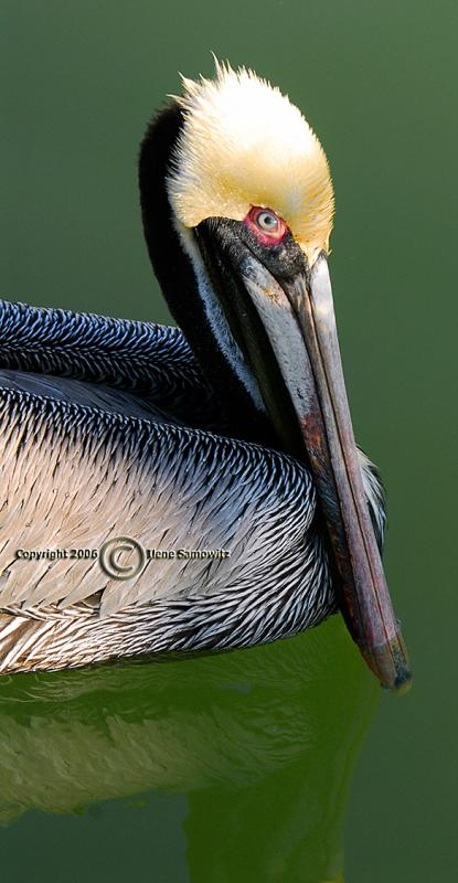 Brown Pelican - Up Close and Personal