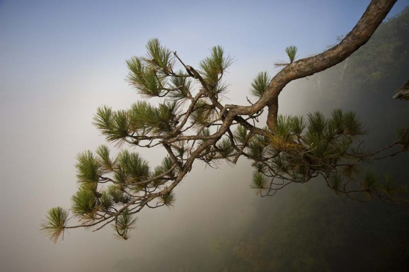 Pine branch in fog.