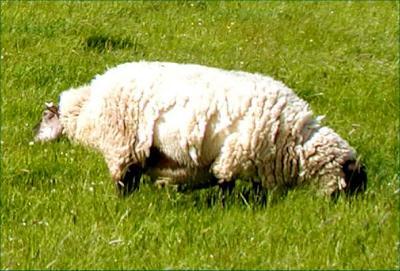 2 headed sheep in Ireland