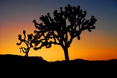 Joshua Trees in Silhouette