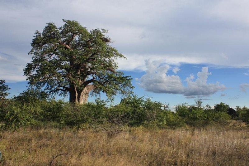 Baobab Tree - Gweta