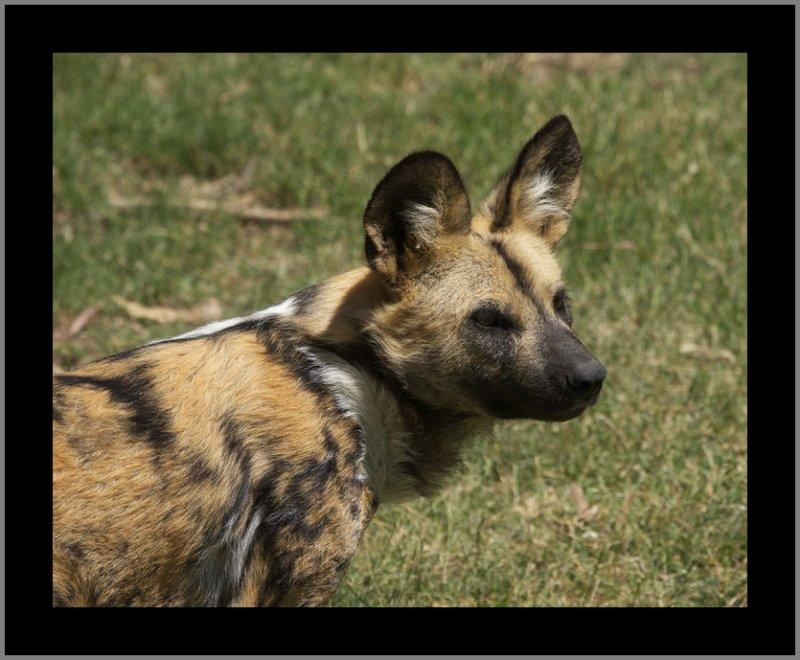 African Wild Dog #9