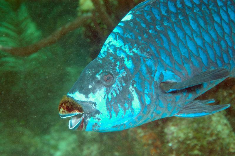 Midnight Parrotfish