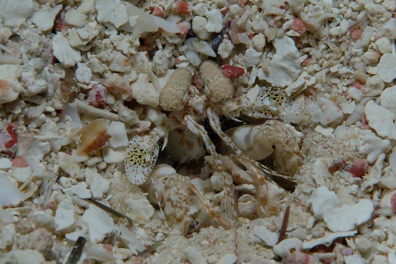 Scaly-Tailed Mantis Shrimp