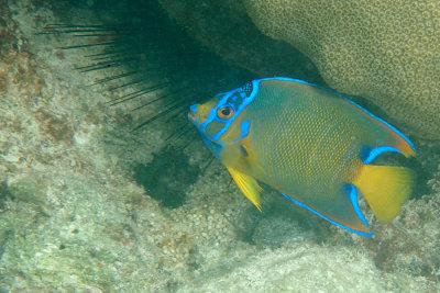 Intermediate Queen Angelfish