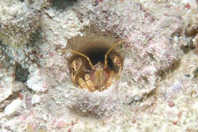 Corallianassa longiventris