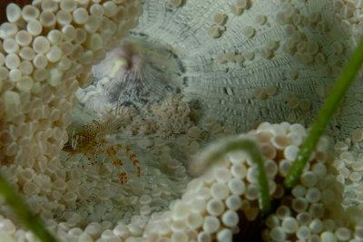 Elegant Anemone with Sun Anemone Shrimp
