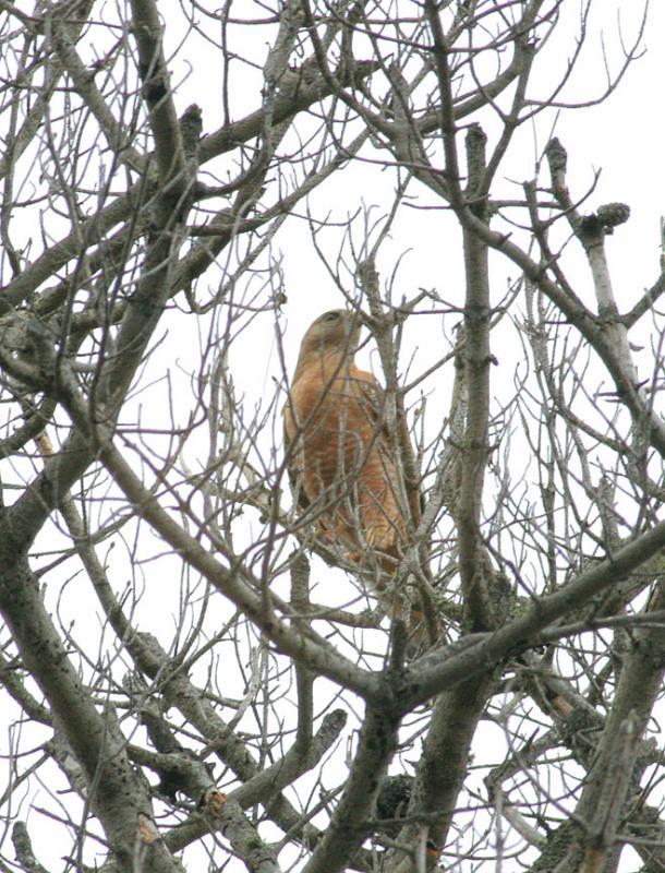 RS Hawk, male