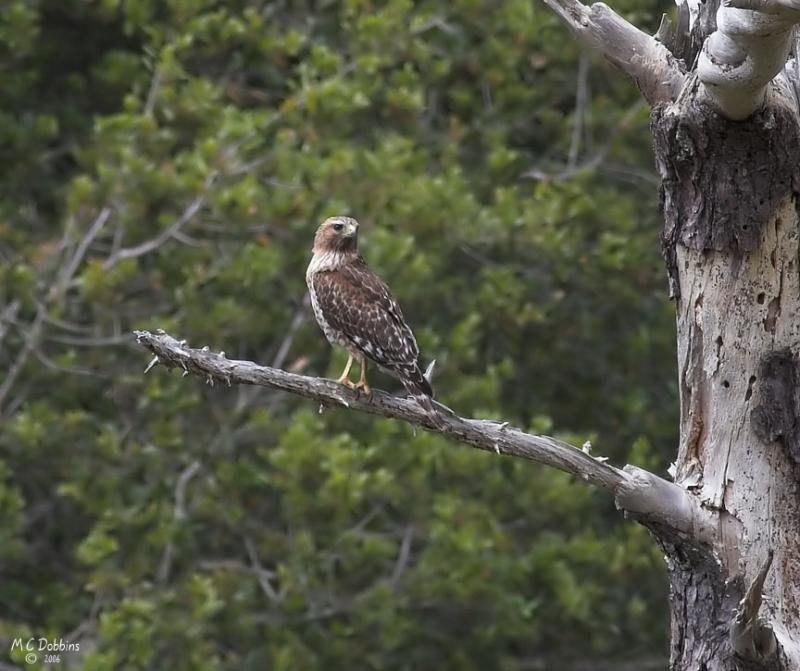 Female Red Shouldered Hawk