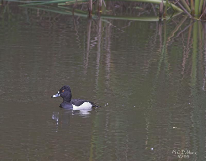 Ring Neck Duck, Male