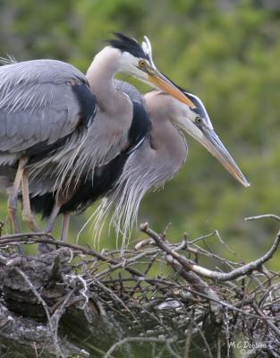 Great Blue Heron Parents