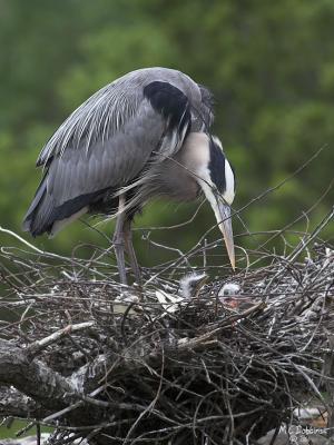 Male with 2 chicks in Nest 2