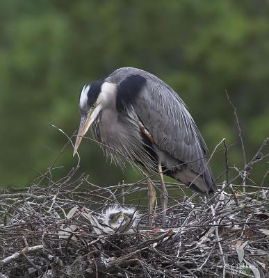 Female with chicks in Nest 2