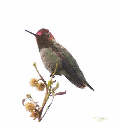 Annas Hummingbird