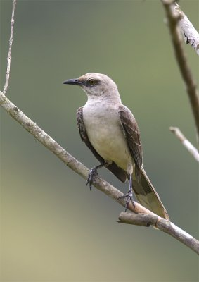Tropical-Mockingbird2.jpg