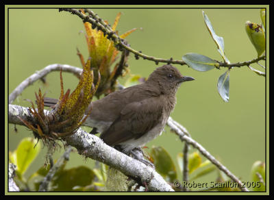 Black-billed-Thrush.jpg