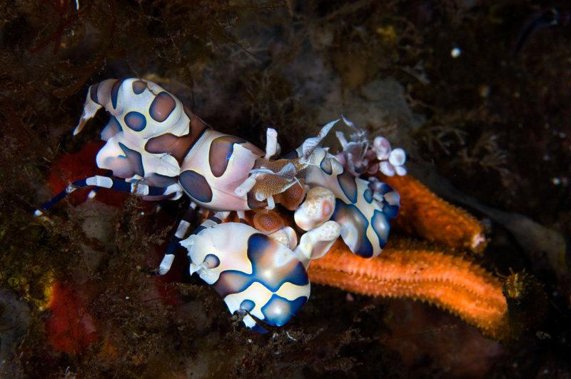 Harlequin Shrimp, feeding on Sea Star