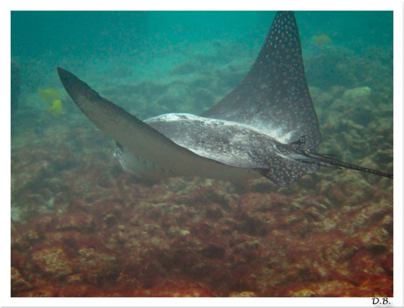 Spotted Eagle Ray 5-24-10