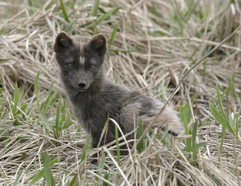 Arctic Fox-St Paul Ak.jpg