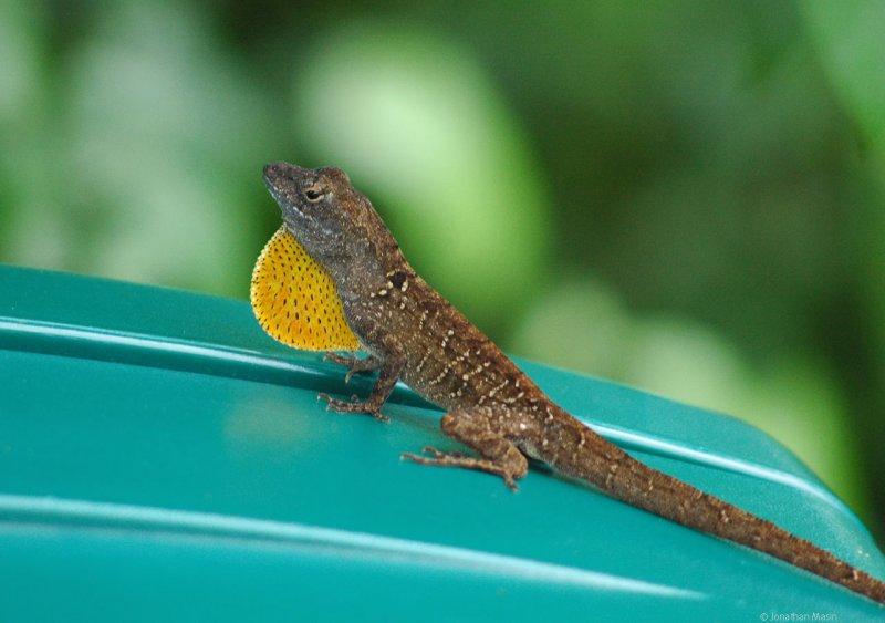 Brown Anoli Lizard