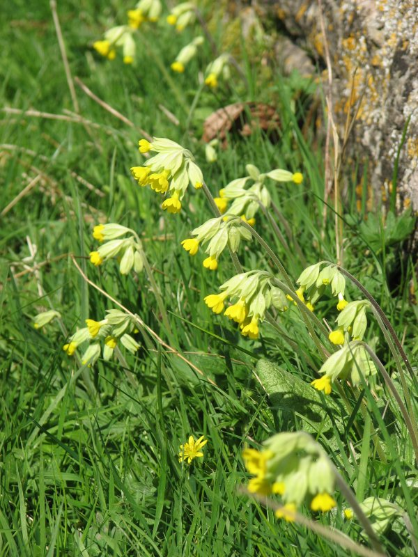 Cowslips, April 2010