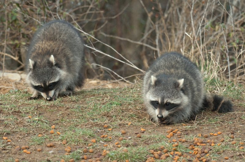 JPG C Two Young Coons -2700.jpg