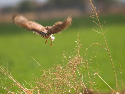 American Kestrel in Action