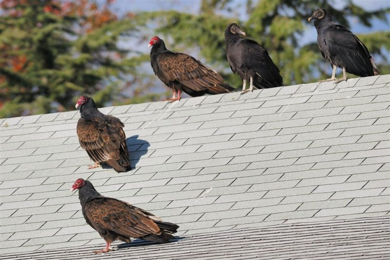 Vultures on the roof