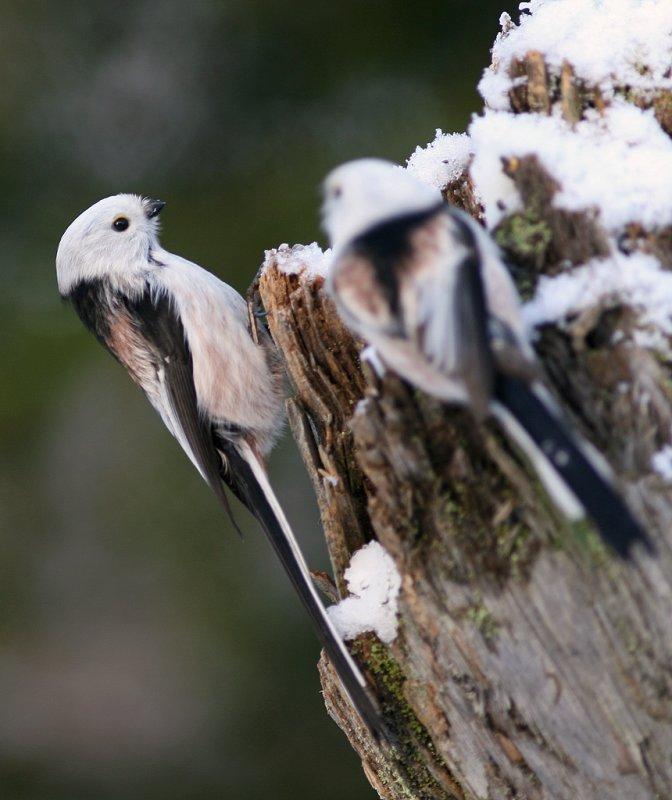Stjärtmes/Long-tailed Tit