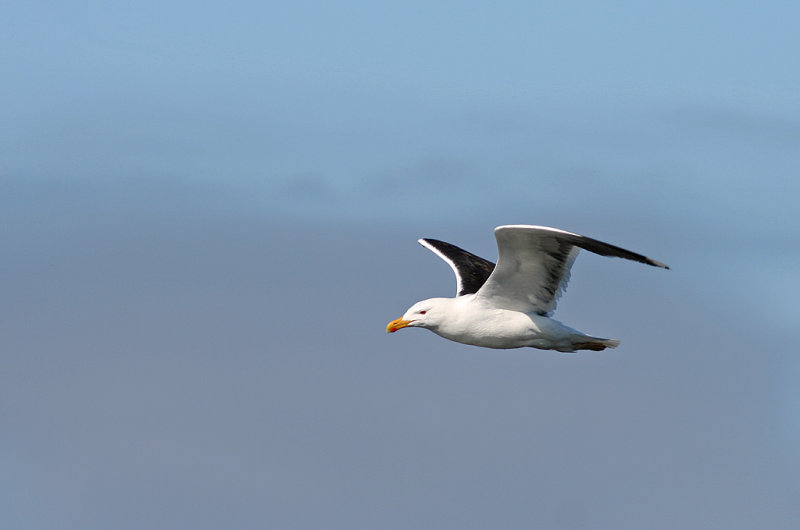 Havstrut/Great Black backed Gull