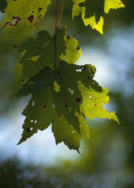 September Maple 1