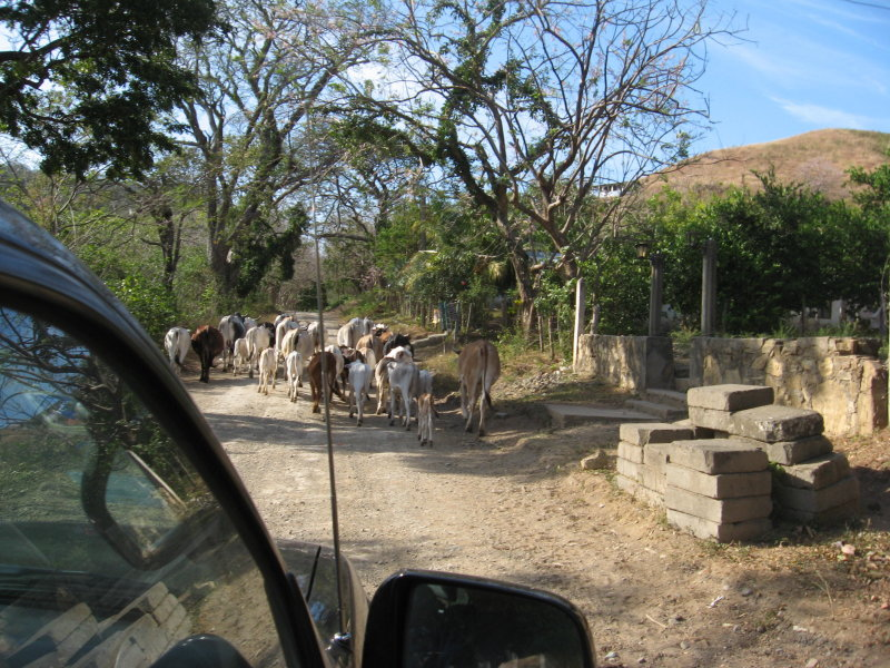 a day outing caught cowboys herding the cows down the street