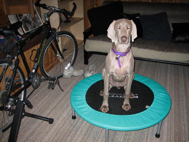 Then, when I get on the treadmill, he takes over the rebounder.  Wish I had his energy and motivation!