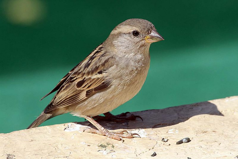 Sparrow at the hotel