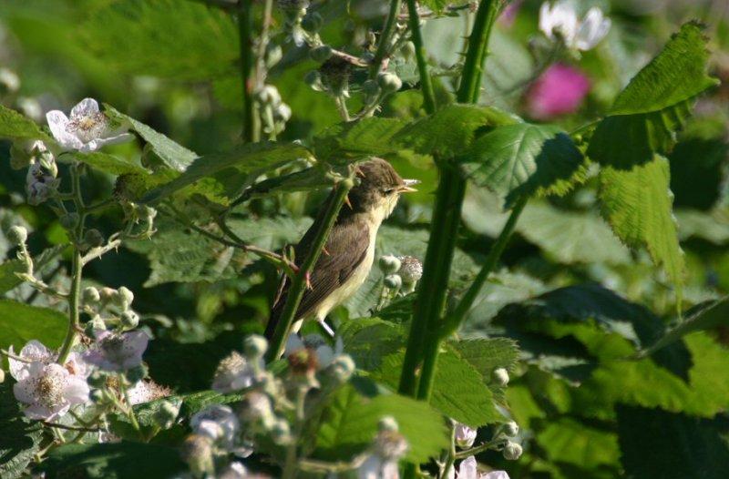 Melodious warbler, Arnemuiden 19-06-2005