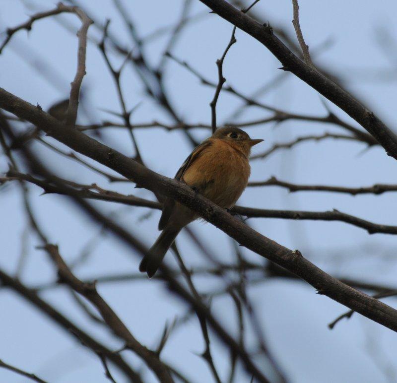 Buff-breasted Flycatcher_1_San Cristobal area