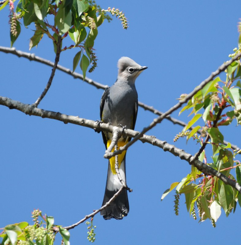 Grey Silky Flycatcher_Moxviquil