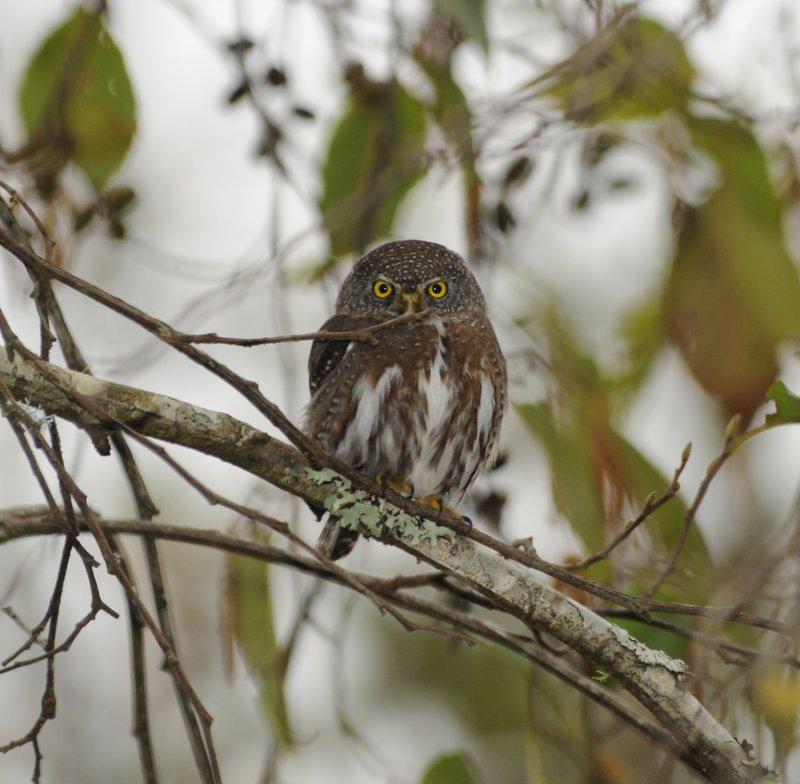 Mountain Pygmy Owl_Mitziton, San Cristobal area