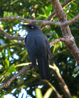 Melanesian Cuckoo-shrike