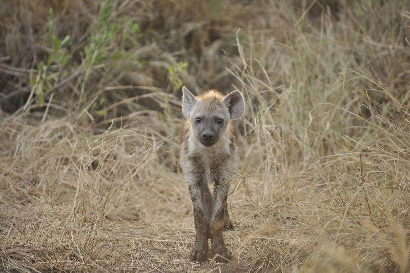 Hyena Pup 1
